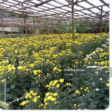 Agricultural , Ringlet , Cameron Highlands