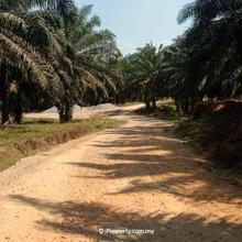 Agriculture land- palm tree , Tanjung Malim