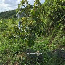 Gua musang, Gua Musang