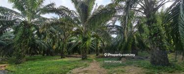 101 ac Lanchang Facing Main Road Oil Palm Land For Sales, Lanchang 1