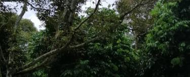 Johor Chaah Bukit Kepong Durian Farm 19.5 acres   , Chaah 1