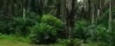 Paloh - Kluang Palm Oil Land  7.59 Arces For Sale, Paloh Kluang Palm Oil Land 7.59 arces , Kluang 1